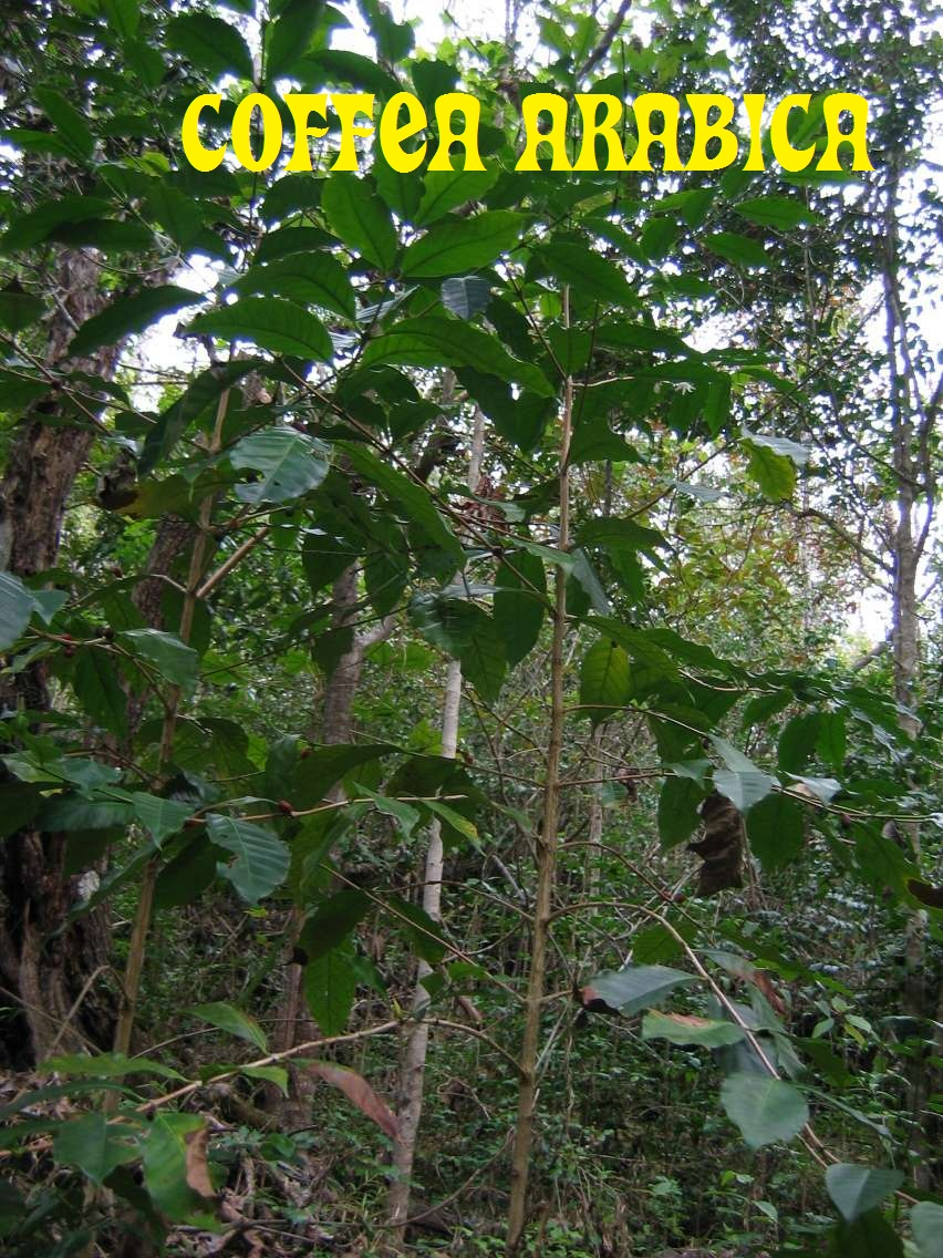 Coffea Arabica Beans (Grow Your Own Coffee Plant) Seeds